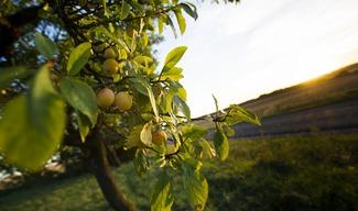 HAUTCOLAS FRUITS - HEUDICOURT SOUS LES COTES